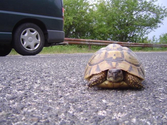 schildpad op de weg Bulgarije