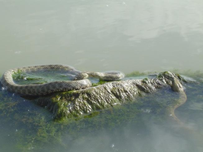 slangen in Balotonmeer